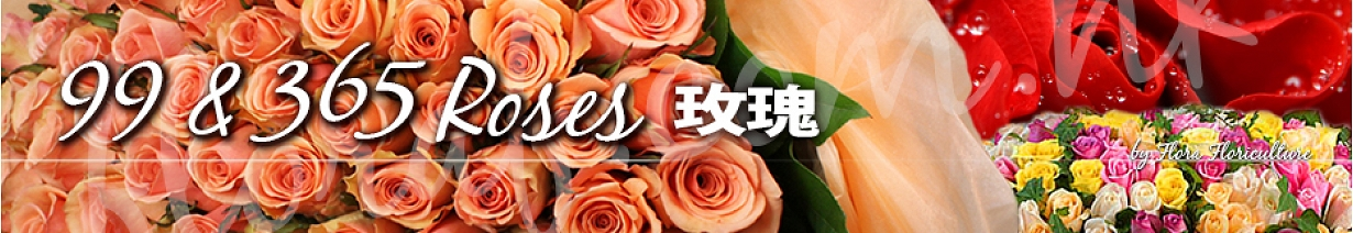 99支玫瑰-365支玫瑰